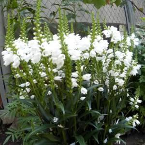 Цветы Физостегии фото