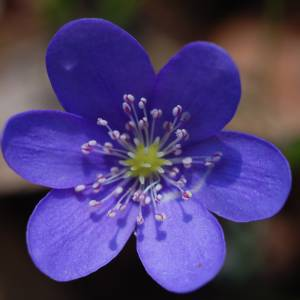Цветок Печеночница фото