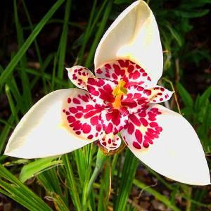 Цветок Тигридия фото