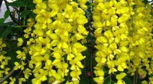 Растение Бобовник фото