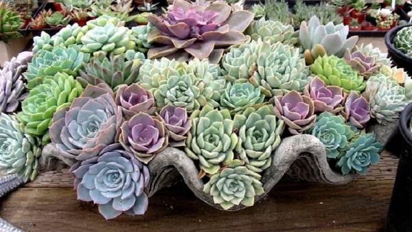 Фото цветов Эхеверии