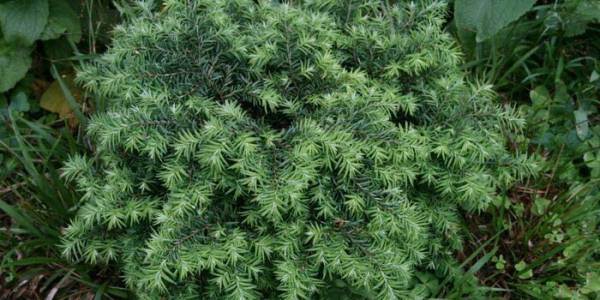 Хвойное дерево Тсуга фото