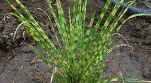 Растение Мискантус фото