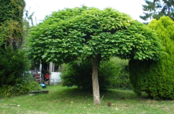 фото дерева Катальпа