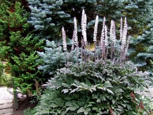 Фото растения Клопогон