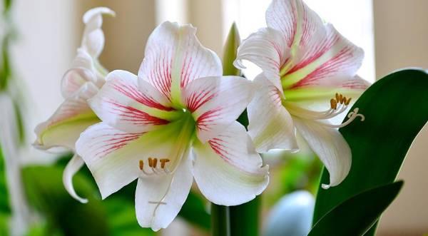 Соцветия Гиппеаструма фото