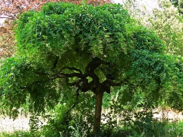Фото дерева Софоры