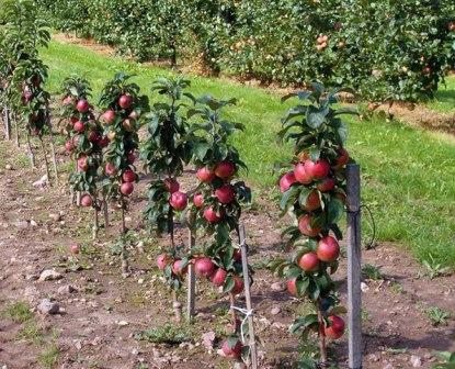 Фото сорта яблони Мельба