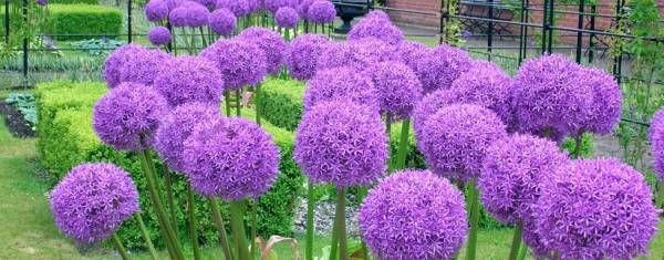 Аллиум Гигантский фиолетовый фото