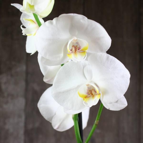 Орхидея Фаленопсис Apple Blossom