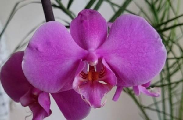 Орхидея Фаленопсис Pasadena фото