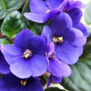 Фиалки фото цветов