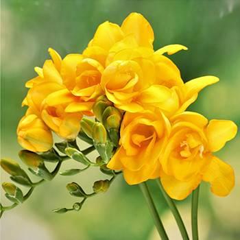 Фрезия полная Yellow фото