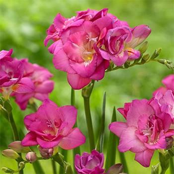 Фрезия полная Rose фото