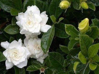 Гардения жасминовидная фото цветка