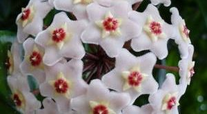 Хойя фото цветов