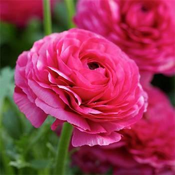 Лютики Pink фото