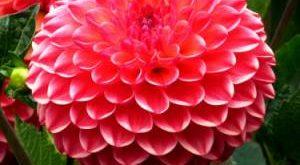 Георгины фото цветов