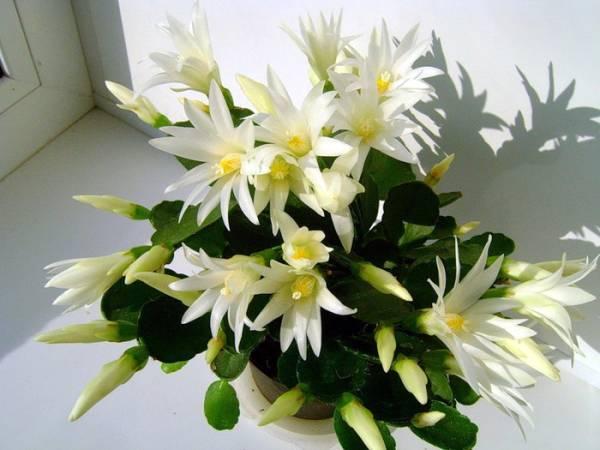Цветок Декабрист белый фото
