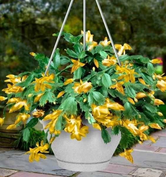 Цветок желтый Декабрист фото