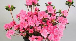 Цветок Азалия фото
