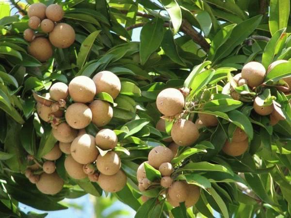 Фрукт Саподилла (сапотовое дерево) фото