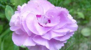 Гвоздика садовая фото