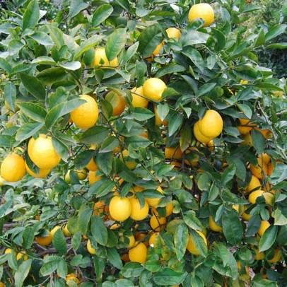 "Лимон сорт ""Мейера"" фото"