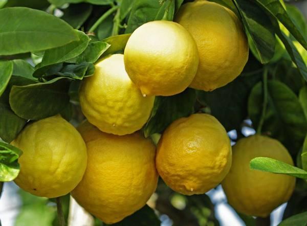 Лимон Сорт «Юбилейный» фото