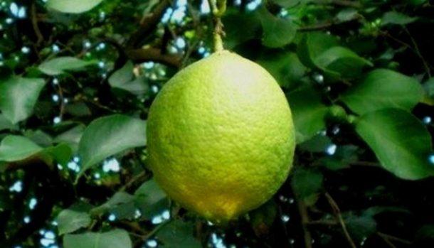 Лимон Сорт «Дженоа» фото