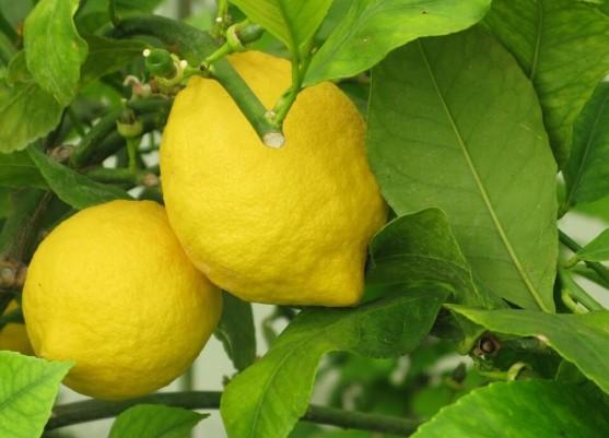 Лимон Сорт «Павловский» фото