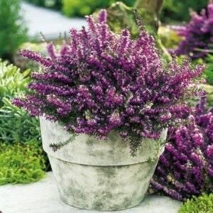 Растение Эрика фото