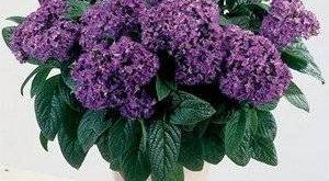 Цветок Гелиотроп фото