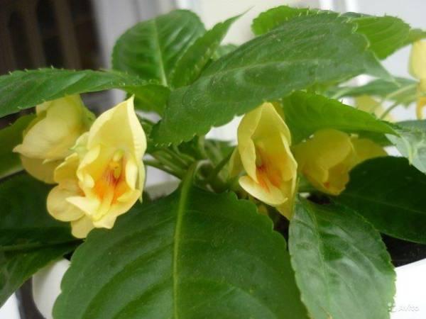 Бальзамин Орхидейный фото