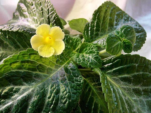 Эписция Yellow mist фото