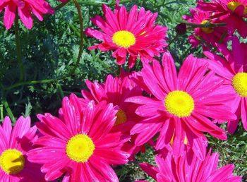 Матрикария Розовый Пиретрум фото