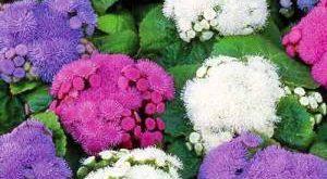 Цветок Агератум фото