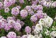 Цветок Алиссум фото