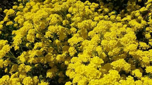 Алиссум скальный желтый ковер фото