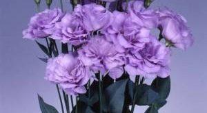 Цветок Эустома фото