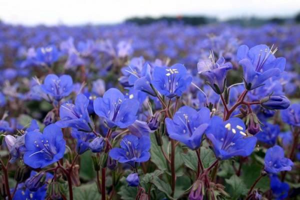 Фацелия Колокольчатая Blue Bonnet фото