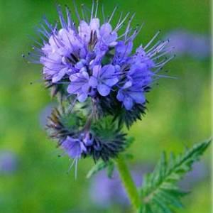 Цветок Фацелия фото