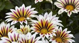 Цветок Гацания фото