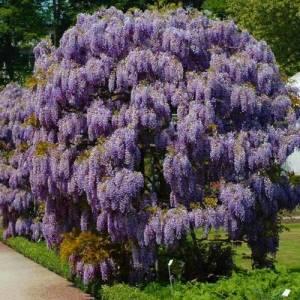Цветок Глициния фото