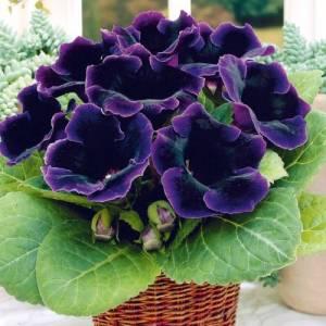 Цветок Глоксиния фото
