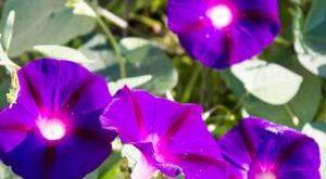 Цветок Ипомея фото