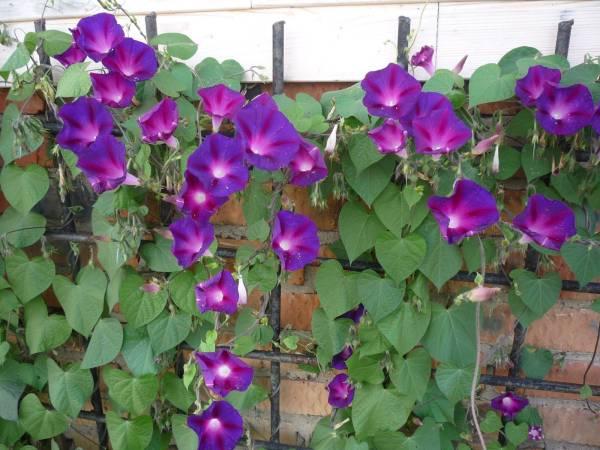 Ипомея пурпурная фото