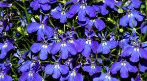 Цветок Лобелия фото