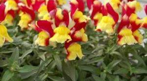 Цветок Львиный Зев фото
