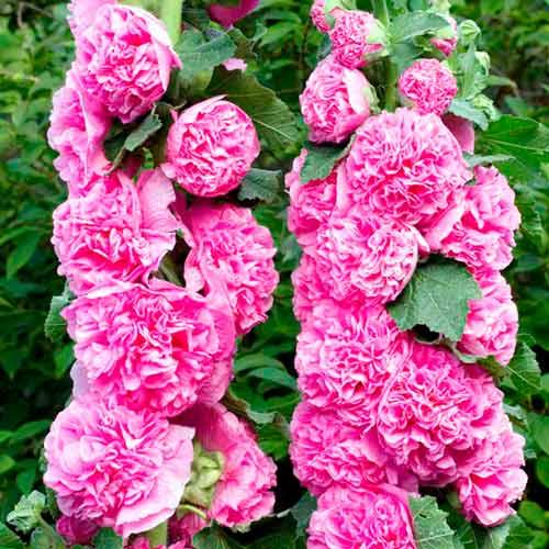 Мальва махровая розовая фото